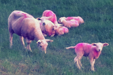pinksheep011-370x247