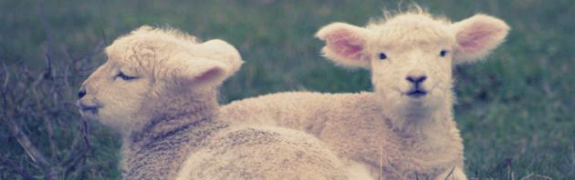 Cuddling lambs